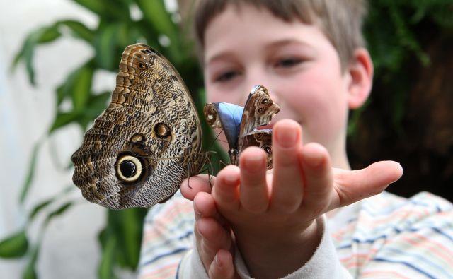 Kar nekaj vrst metuljev bo v Sloveniji izumrlo v prihodnjih desetih letih. Foto Tadej Regent