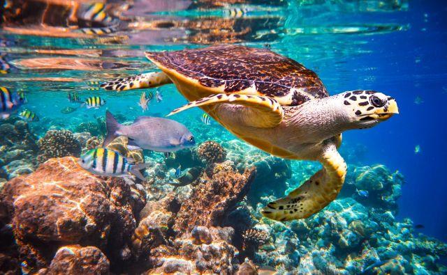 Koralni grebeni bi lahko izumrli že v nekaj desetletjih. Foto Shutterstock