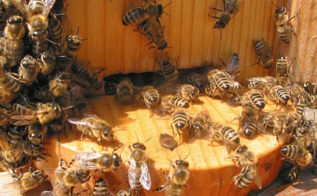 »Če čebel zdaj 14 dni ne bomo hranili, bodo od lakote pomrle. Čebelje družine potrebujejo po kilogram sladkorja na dan,« opozarja Boštjan Noč, predsednik Čebelarske zveze Slovenije.<strong> </strong>Foto Primož Hieng