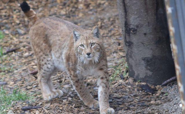 Namen projektaLife Lynx je rešiti populacijo risov v Dinaridih in jugovzhodnih Alpah pred izumrtjem. FOTO: Tomi Lombar/Delo
