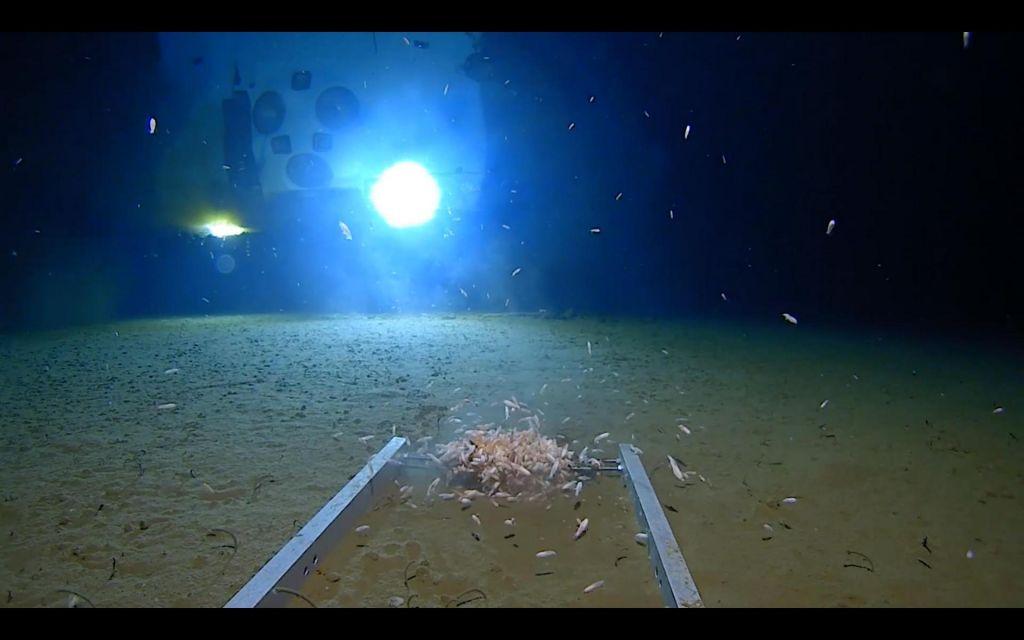 FOTO:Raziskovalec na najgloblji točki sveta odkril nove vrste in – plastiko (VIDEO)