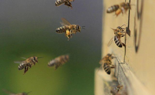 Ker so pri nas kmetje vedno bolj informirani in so začeli sodelovati s čebelarji, v zadnjem času ni pomorov čebel. Foto Leon Vidic