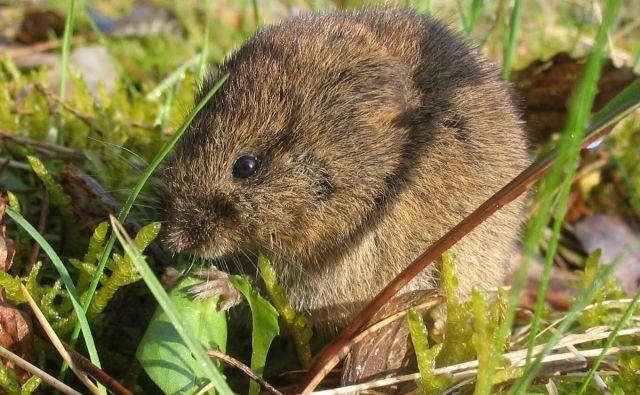 Virus kroži v naravnih žariščih predvsem med glodavci, kot so miši, voluharji in podgane, ki so kronični nosilci. FOTO: Shutterstock