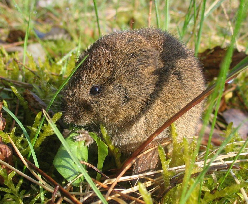 V Sloveniji letos porast mišje mrzlice