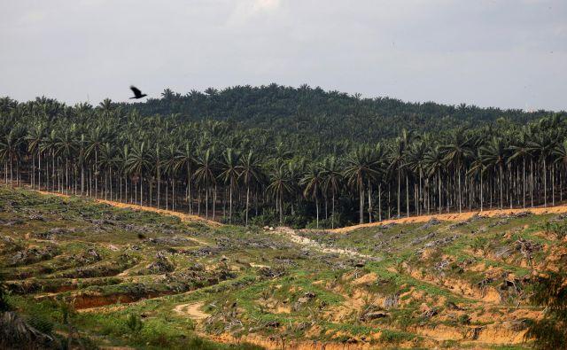 Takole za plantaže palomovega olja izginja tropski gozd. Foto Reuters