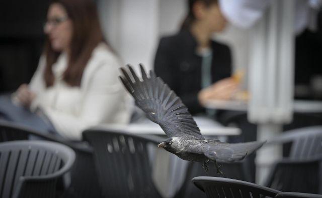 Vrane se ljudi ne bojijo. FOTO Jože Suhadolnik/Delo