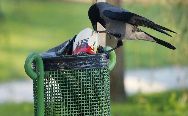Siva vrana obleze vse in požre vse, kar ji pride pod kljun, hrano išče tudi po koših in zabojnikih za odpadke. Foto Leon Vidic