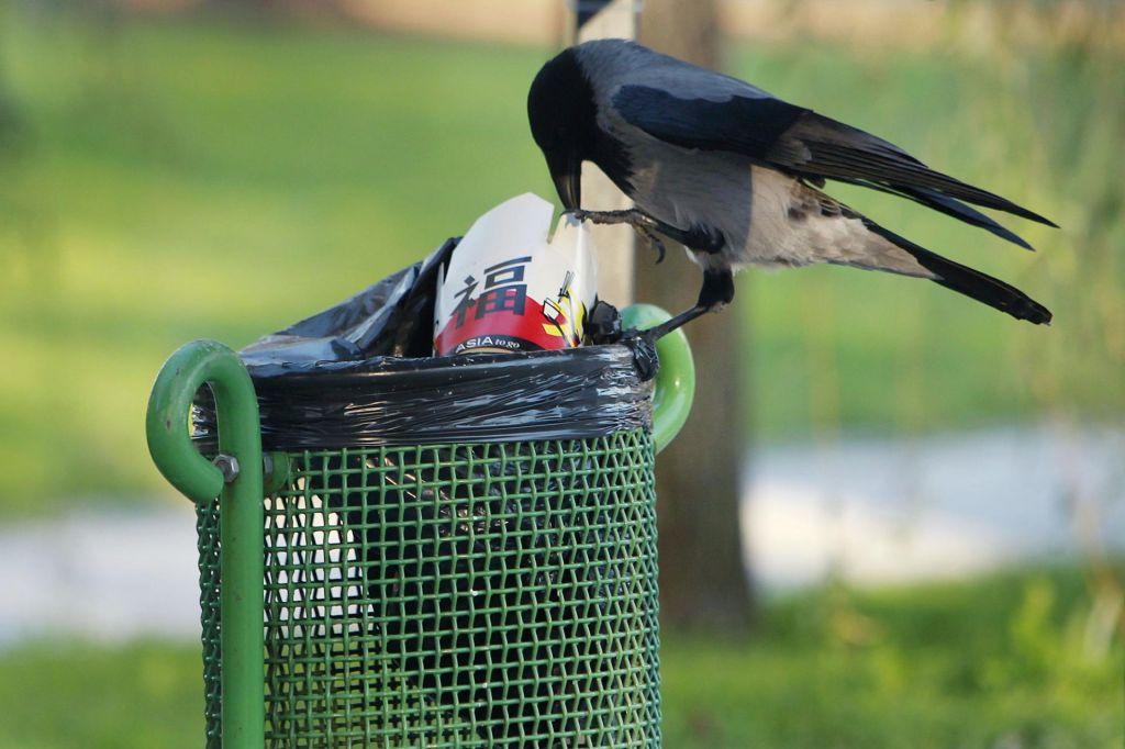 Siva vrana v mestu
