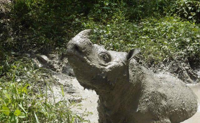 Nesrečni nosorog iz Malezije. FOTO: Chris Annadorai / Reuters