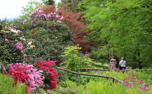 V Arboretumu se je kljub deževnemu in hladnemuvremenu odprlo 5000 cvetov rododendrona.FOTO: JZ Arboretum