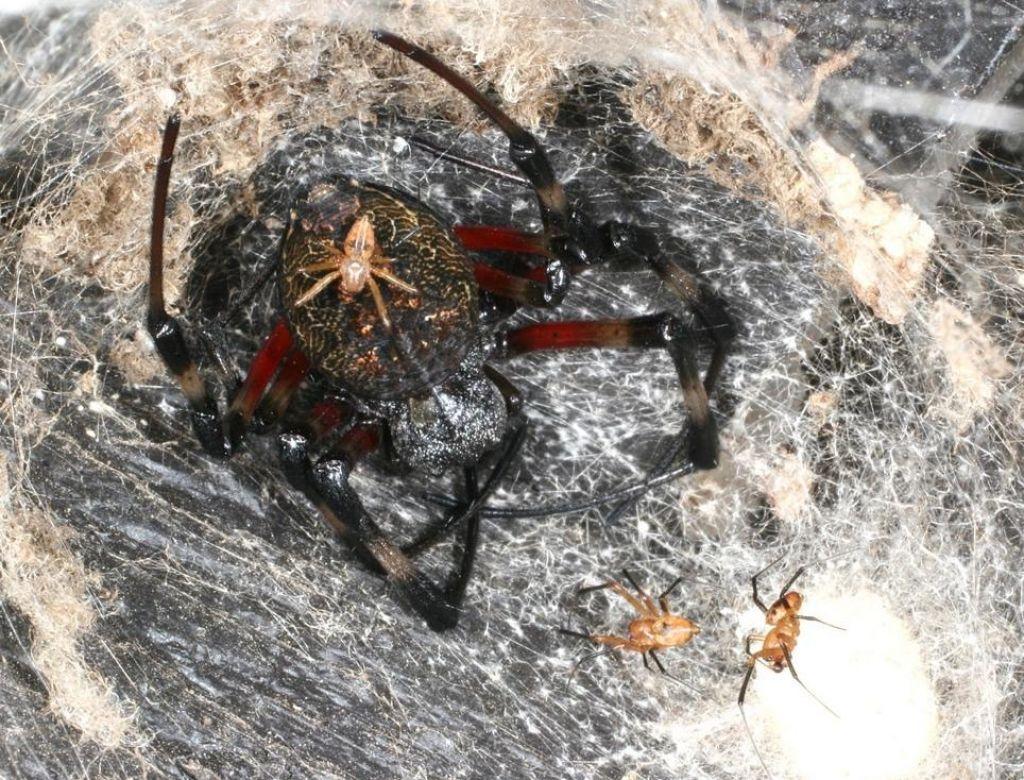 Majhni pajki niso boljši plezalci