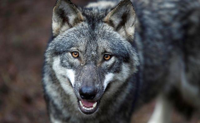 V občini Železniki so bili doslej obiski volkov prej izjema kot pravilo. FOTO: Axel Schmidt/Reuters