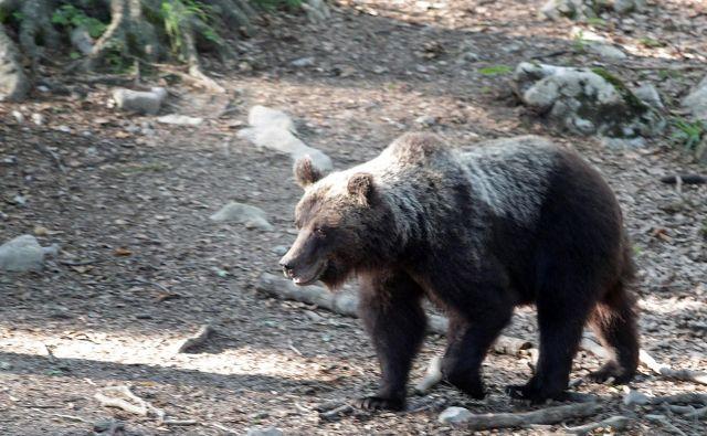 Medved v snežniških gozdovih. FOTO: Ljubo Vukelič/Delo