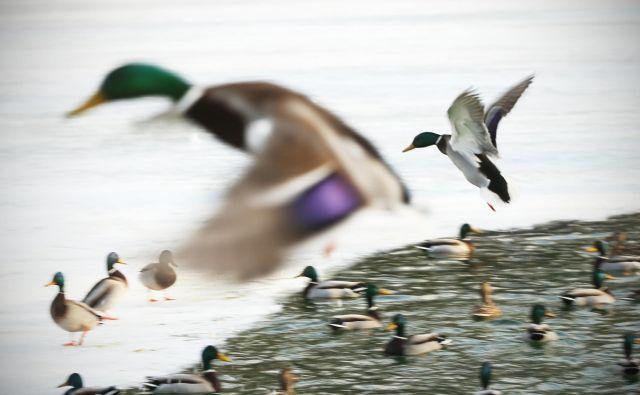 Ptice imajo krila. In svobodno letijo, kamorkoli želijo. To mobilnost jim najbrž zavida vsakdo, ki dnevno doživlja zastoje na cestah. Foto: Jure Eržen/Delo