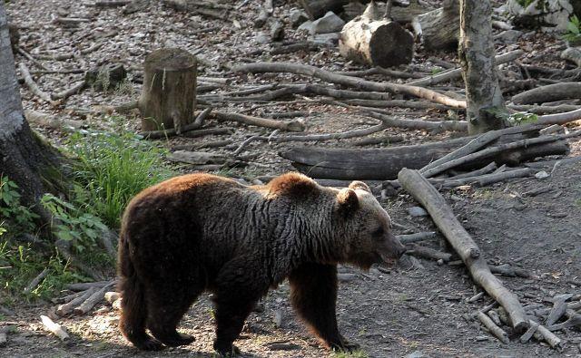 Dokazano je namreč, da več kot je odstrela medvedov, več jih je. Foto Ljubo Vukelič