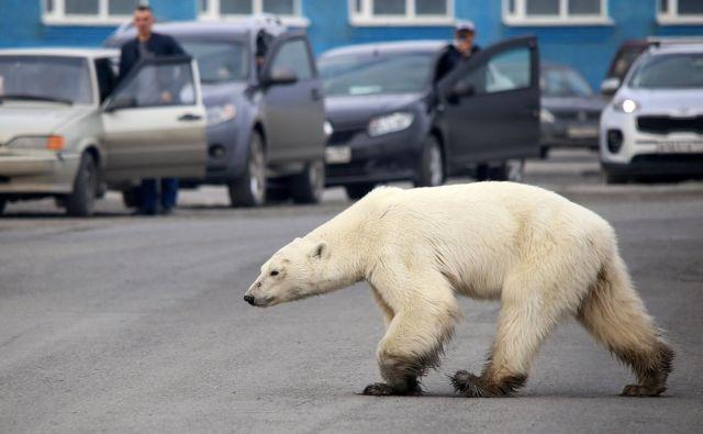 Na obrobju ruskega industrijskega mesta Norilsk so opazili lačnega polarnega medveda, ki je oddaljeno več sto milj od plenilčevega naravnega habitata. FOTO: Irina Yarinskaya/AFP