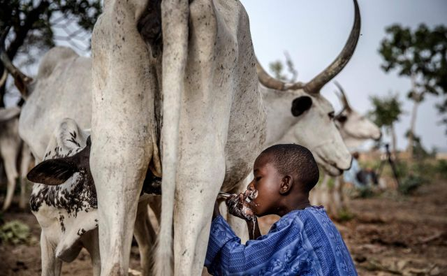 8-letni nigerijski deček Fulani Suleiman Yusuf pije mleko iz kravjega vimena na pašniku v bližini očetove družinske hiše. FOTO: Luis Tato/AFP