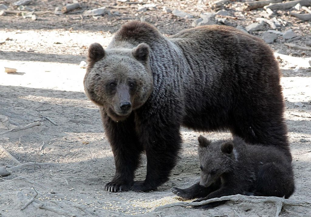 Debata o medvedih in volkovih naj se izza šanka zopet preseli k stroki
