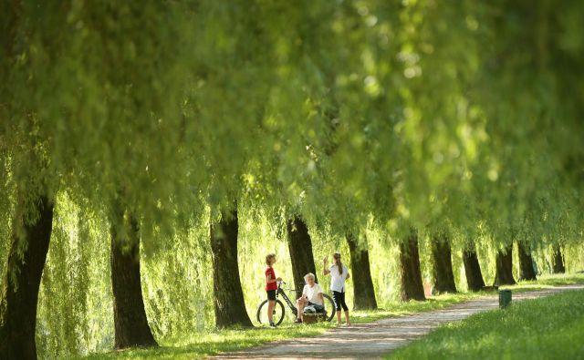 V državah, ki bi jim bili radi podobni, rast dreves upoštevajo pri gradnji infrastrukture. Pri nas je to, razen redkih izjem, še znanstvena fantastika. FOTO: Jure Eržen/Delo