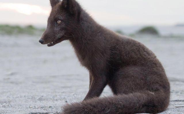 Tudi arktične lisice so odvisne od morskega ledu, ki pa ga je zaradi podnebnih sprememb vse manj. Foto Shutterstock