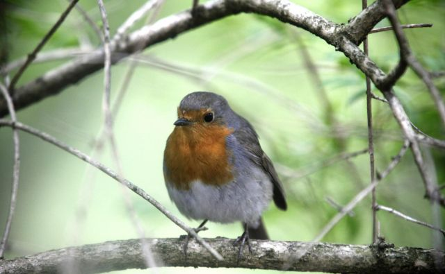 Opazovanje ptic v letu, med hranjenjem, skakljanjem z veje na vejo, poslušanje njihovega petja, pravzaprav vse, kar je povezano z njimi – razen lova! – je eden najboljših načinov preganjanja osamljenosti. FOTO: Mavric Pivk