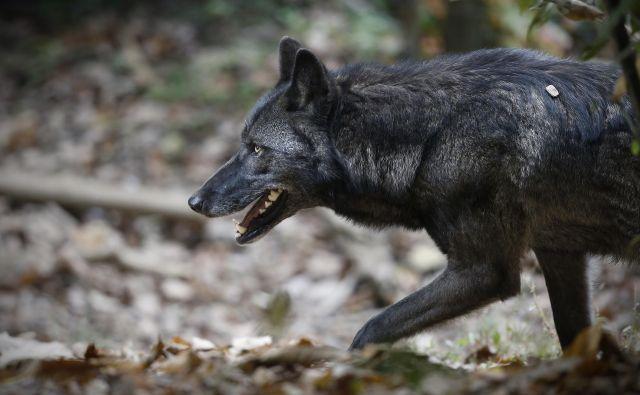 Zakon spodbuja odstrel volkov, ko imajo mladiče. FOTO: Blaž Samec/Delo
