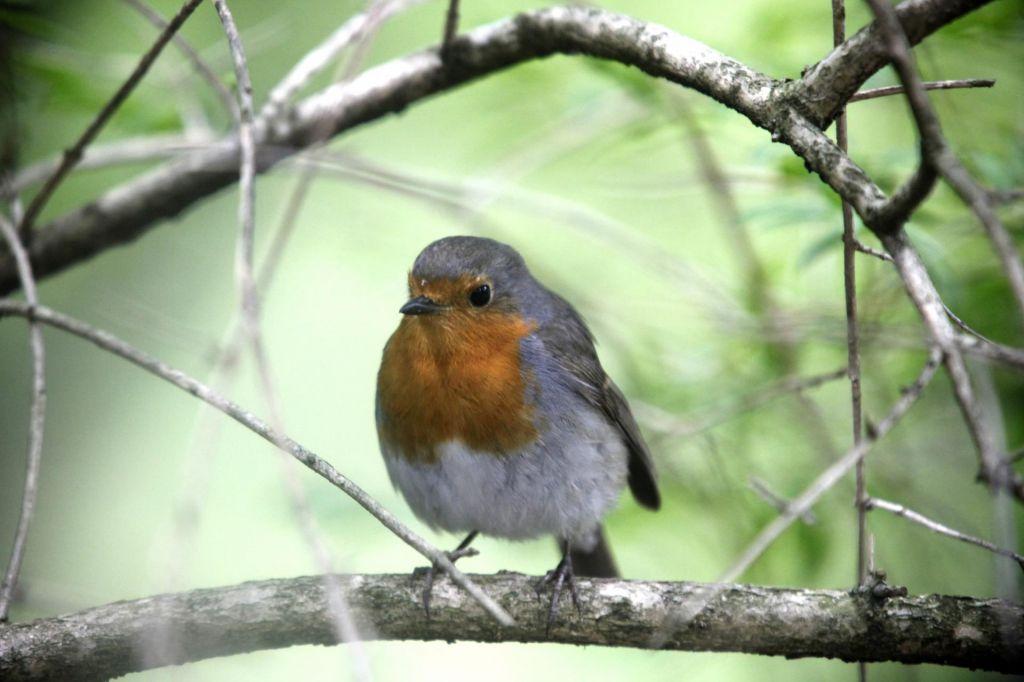 Ptice navdušujejo, tudi če ne slišimo njihovega petja