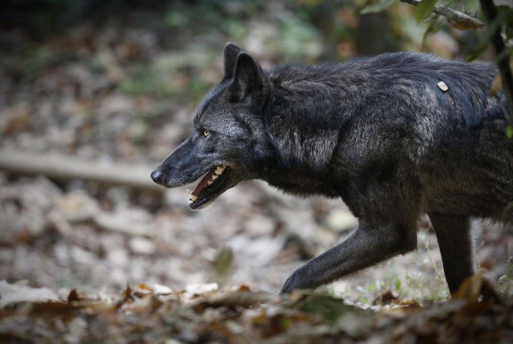 Interventni zakon potrebujemo za podnebno krizo, ne za volkove in medvede