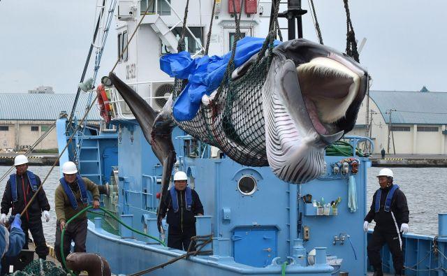 Od treh vrst kitov, ki jih bodo lahko lovili japonski ribiči, je ena v kategoriji ogroženih vrst na rdečem seznamu IUCN. FOTO: Afp