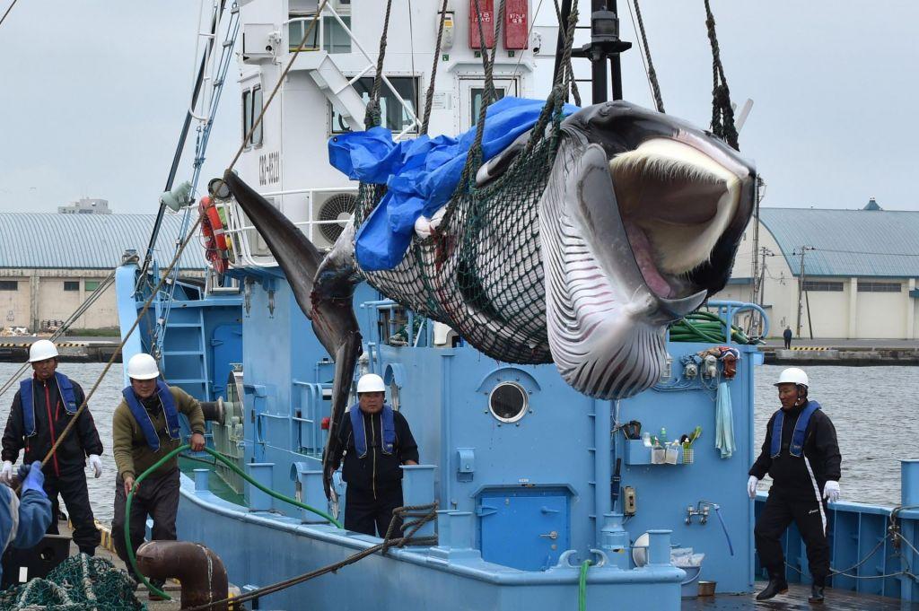 Japonci po več kot 30 letih začeli komercialno loviti kite