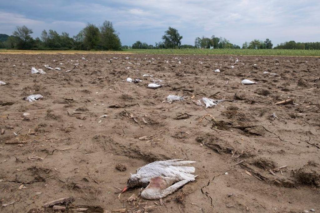 Po neurju na Ptuju našli 300 mrtvih ptic