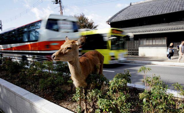 V Nari se srnjad prosto sprehaja po mestu. FOTO: Reuters