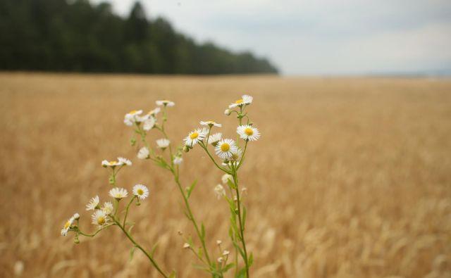 Panvita namerava delež poljedeljskih površin, vključenih v sistem ekološke pridelave, z 82 hektarov povečati na 120 hektarov. FOTO: Jure Eržen