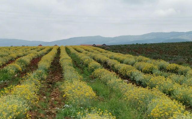 Pobočja ob vznožju Suhe planine so te dni obarvana nežno rumeno. Smilj, rastlino nesmrtnosti, gojijo na sto hektarih in iz njega pridelujejo eterično olje. Foto: Milena Zupanič