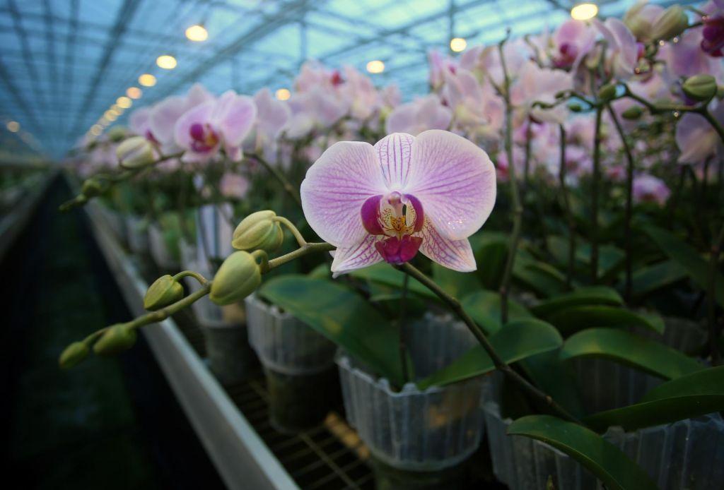 Družbi Ocean Orchids grozi prepoved vzgoje orhidej v rastlinjakih