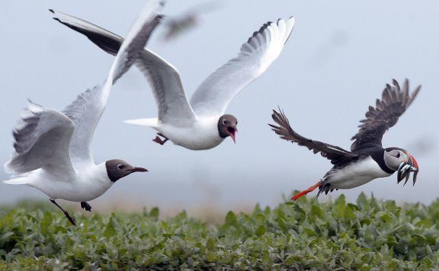 Opazovanje ptic se neizogibno sprevrže v lov na prisrčne mormone. FOTO: Reuters