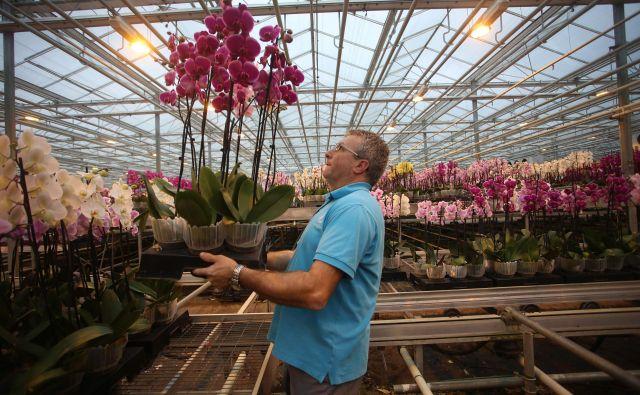 Ocean Orchids je vodilni proizvajalec orhidej rodu falenopsis v srednji in jugovzhodni Evropi. Foto Tadej Regent