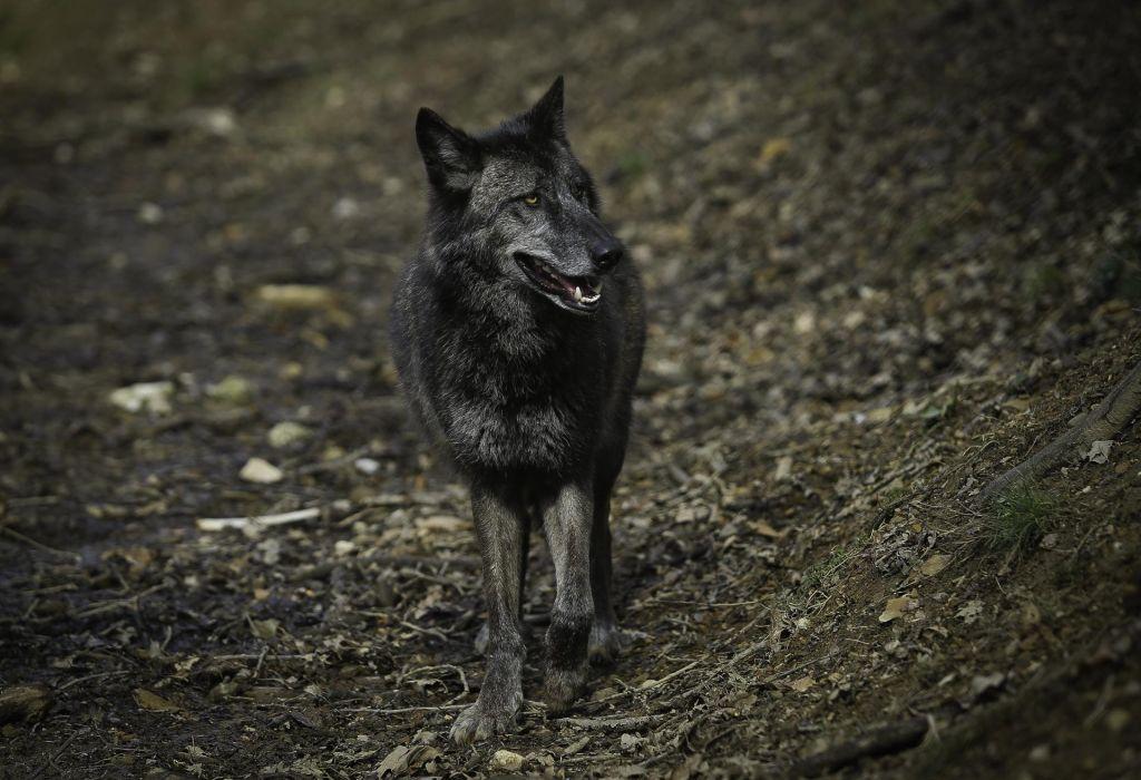 Odstreljen prvi volk po uveljavitvi interventnega zakona
