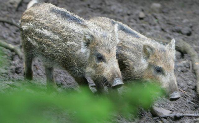Kmet, ki je svojim pujskom želel vse najboljše in je dokončanje svinjaka obeležil z neobstoječo kaznijo, je dobil denarno kazen v neobstoječi valuti. FOTO: Igor Modic /Delo