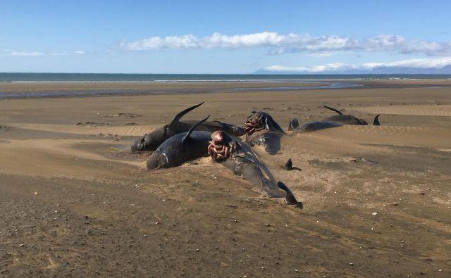 Pogled na razopadajoča trupla kitov na plaži Longufjorur na območju polotoka Snaefellsnes na severozahodni Islandiji. Približno petdeset pilotnih kitov je prejšnji teden nasedlo na islandski plaži. To je pogost, vendar redko usodni pojav za to vrsto kitov, ki pa ostaja nepojasnjen. FOTO: David Schwarzhans/AFP