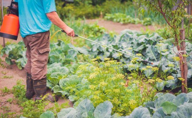 Če imamo škropilnico z dolgo palico, se rastlin ne dotikamo, kar zmanjša možnost okužbe. FOTO: Shutterstock