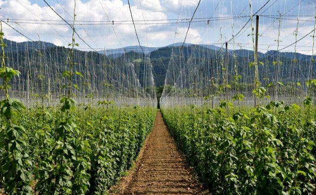 Slovenija je v svetovni špici hmeljarstva, izvozi pa je med 95 in 99 odstotkov hmelja. Foto: Dokumentacija Dela