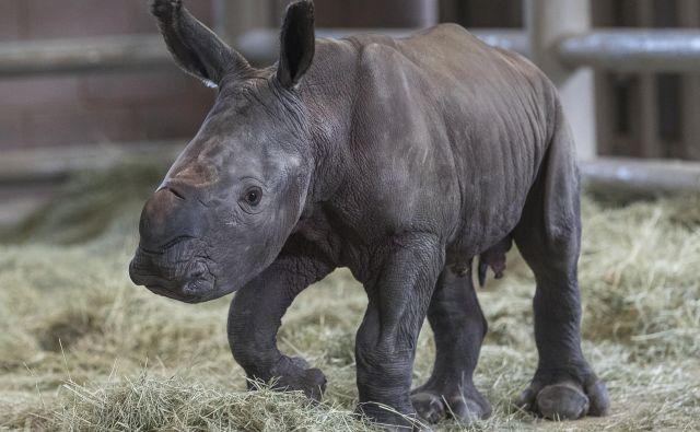 Nosorogec, skoten v živalskem vrtu v San Diegu, daje upanje. FOTO: Ken Bohn/San Diego Zoo Safari Park, AFP