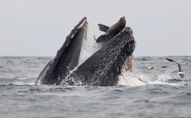 Fotograf divjih živali v zalivu Monterey v Kaliforniji je ujel morskega leva, ki se je ujel v usta kita grbavca. FOTO: Chase Dekker/AFP