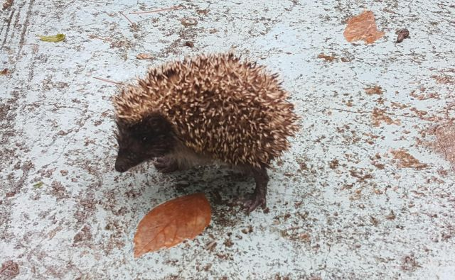 """Vse """"nepopolnosti"""", ki so me na vrtu motile, so za ježe popolna rešitev. FOTO: Maja Prijatelj Videmšek"""