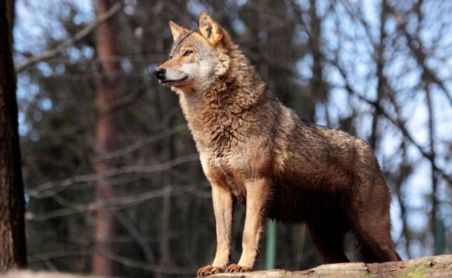 V državi naj bi bilo okoli sto volkov. FOTO: Miha Krofel