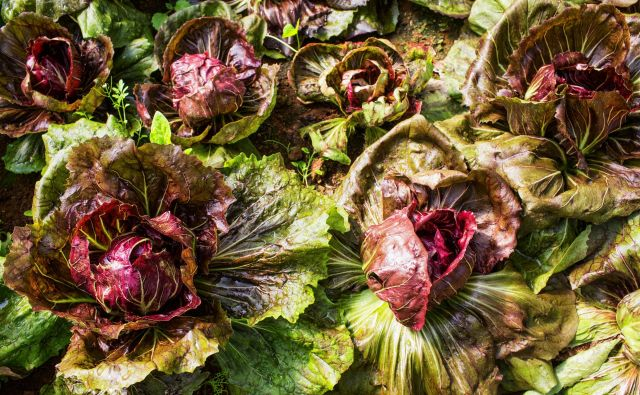 Radič, katerega glavice bomo pobirali jeseni, čez zimo ali zgodaj spomladi, sejemo do srede julija, še avgusta pa ga kot doma pridelane ali kupljene sadike na grede sadimo. FOTO: Shutterstock