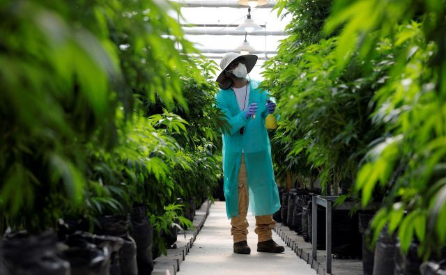 Skrben pregled konoplje za medicinsko uporabo. An employee tends to medical cannabis plants at Pharmocann, an Israeli medical cannabis company in northern Israel January 24, 2019. Picture taken January 24, 2019. REUTERS/Amir Cohen - RC116A4F32D0 Foto Amir Cohen Reuters