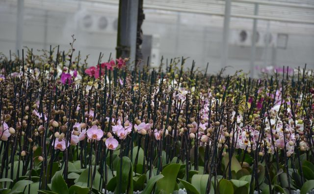 Birokratska zagata: Je gojenje orhidej kmetijstvo ali industrija? Foto Oste Bakal