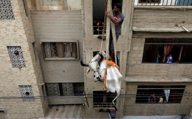 V pakistanskem mestu Karači je družina z improviziranim dvigalom na streho dvignila kravo, ki jo bodo ob začetku verskega festivala žrtvovali bogovom. FOTO: Akhtar Soomro/REUTERS